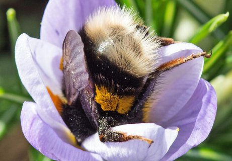 Eine Biene sammelt am 02.03.2017 in Freiburg (Baden-Württemberg) in einem blühenden Krokus Pollen
