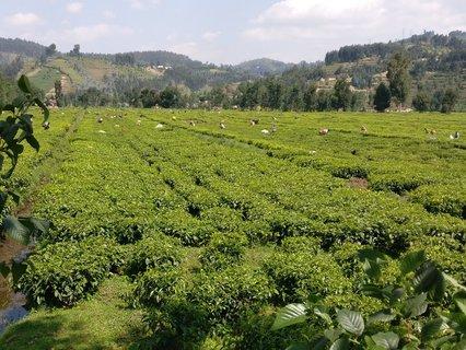 Handarbeit: Teeblätter, einer der Hauptexporte des Landes, werden gepflückt