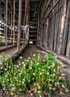 Die Pflanze, aus der Pyrethrum gewonnen wird.