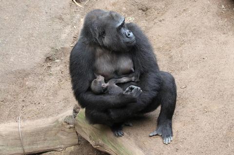 Gorillaweibchen Yene und ihr vor vier Tagen geborenes Jungtier.