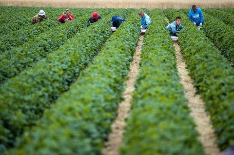 Erntehelferinnen und Helfer pflücken Erdbeeren.